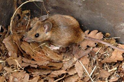 Mysz leśna